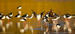 Black-necked Stilts (Brian Knott Photography) Tags: california black reflection water birds fly flying wildlife flight landing sanctuary stilts irvine sanjoaquin necked brianknott forgetmeknottphotography fmkphoto