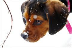 Snow nose (~Bella189) Tags: christmas winter snow beagle 2012 beaglier beautifulworldchallenges pentaxk5 pregamewinner