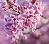 005450  2012 AVCC Competition (davemorinphoto.com) Tags: morning pink flowers flower home nature massachusetts milford week14 jpgmag palmsunday floweringplum bestof2012 weekly2012 vistaprint2013