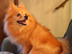 Punkin (Erik Daniel Drost) Tags: favorite dog pet favorites pomeranian punkin