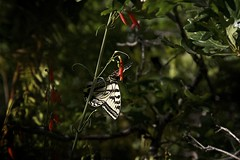 Hang Time (Reptilian_Sandwich) Tags: flowers red wild summer plants mountains newmexico macro green leaves yellow forest butterfly insect walking outdoors morninglight wings oak solitude shadows foliage solidarity swallowtail backlighting nectaring blackrange cresttrail79