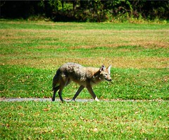 Coyote in Rockland Lake Park (Stanley Zimny (Thank You for 23 Million views)) Tags: coyote park wild lake green nature animal rockland 1032