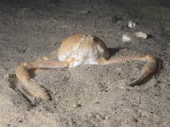 Ilia nucleus (Centro Sub Monte Conero) Tags: mar mediterraneo mare centro crab di muck conero numana nord morto ilia sabbia adriatico noce ancona nucleus pisello testa granchio sirolo benthos crostaceo