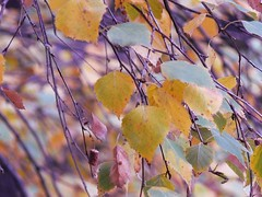 Leaves (kosateva) Tags: new autumn orange tree colors leaves yellow leaf colours