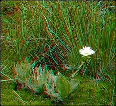 Celmisia: Mountain Wild Flower [Anaglyph] (kiwizone) Tags: new red mountain flower stereoscopic 3d cyan anaglyph zealand alpine otago celmisia stwereo
