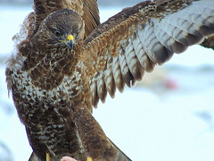 thrush  kites buzz in the snow 059 (ivorrichardk) Tags: thrushakitesbuzz
