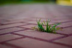 DSC_9059 (TheHouseKeeper) Tags: grass concrete pavement pathwalk pathway nature thehousekeeper georgemateo mateo