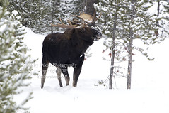 Bull Moose (Deby Dixon) Tags: winter snow tourism nature forest photography nationalpark travels wildlife moose rack yellowstonenationalpark yellowstone wyoming bullmoose debydixonphotography