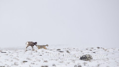 The coyote bites the lamb's muzzle (Deby Dixon) Tags: coyote travel tourism nature photography kill wildlife chase lamb yellowstonenationalpark yellowstone prey wyoming capture predator hunt bighornsheep nikon500mm debydixonphotography truewildlifemoment incredibleevent