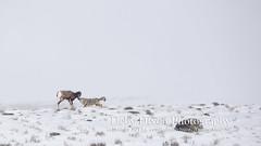 The coyote bites the lamb's muzzle (Deby Dixon) Tags: coyote travel tourism nature photography kill wildlife chase lamb yellowstonenationalpark yellowstone prey wyoming capture predator hunt bighornsheep nikon500mm debydixonphotography truewildlifemoment incredibleevent
