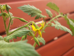 Cherry Tomato Flowers (som300) Tags: flower tomato plant motorola zn5