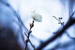 A Blossom in Winter (moaan) Tags: life winter cold zeiss dof blossom bokeh january 100mm utata ume chill ze japaneseapricot f20 makroplanar 2013 inlife firstblossom canoneos5dmarkiii zeissmakroplanart2100ze carlzeissmakroplanart100mmf20ze