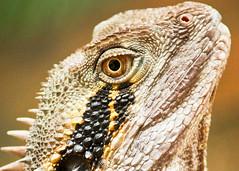 waterdragon  - face (Daniela Parra F.) Tags: waterdragon garden lizards reptiles closeup face portrait scales gardenbuddies backyard