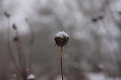ckuchem-1147 (christine_kuchem) Tags: blten eiskristalle frost garten kristalle nahrung naturgarten samenstnde stauden vogelnahrung vogelschutz vgel wildgarten winter wintergarten winternahrung naturbelassen naturnah natrlich reif schnee berzogen