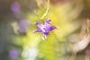 Prête pour une belle journée (S@ndrine Néel) Tags: campanule blossom bloom bokeh fleur flora flower flore néelsandrine