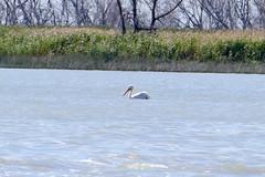 Pelican 1 (Bucky-D) Tags: lundar longpointbeach sand water fz1000 lakemanitoba waterfowl lake avian pelican beach lakemanitobafirstnation manitoba canada ca