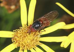 Hoverfly - Rhingia rostrata (Prank F) Tags: glapthorncowpastures wildlifetrust northantsuk wildlife nature insect macro closeup fly hoverfly rhingiarostrata