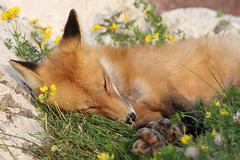 Sleeping Beauty (marylee.agnew) Tags: red fox mammal animal sleeping beauty young kit flowers nature wildlife canine predator baby
