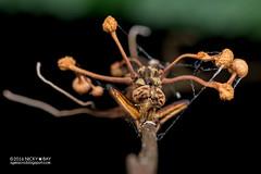 Robberfly with cordyceps fungus - DSC_0364 (nickybay) Tags: singapore riflerangeroad riflerangelink macro robberfly asilidae cordyceps fungus