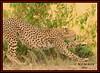 FEMALE CHEETAH (Acinonyx jubatus).....MASAI MARA....SEPT 2015. (M Z Malik) Tags: nikon d800e 400mmf28gedvr kenya africa safari wildlife masaimara kws exoticafricanwildlife exoticafricancats flickrbigcats cheetah