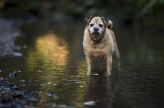 Birty in the River (Ben Lockett) Tags: 85l 5d canon knyperselypool trent reflection river animal dog pugcross birty