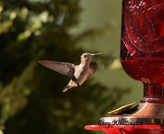 Hummingbird_1792 (Porch Dog) Tags: 2016 garywhittington kentucky nikond750 fx nikon200500mm hummingbird avian nature wildlife feathers bird summer august birdfeeder backyard