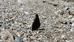 Trauermantel (Aah-Yeah) Tags: trauermantel camberwell beauty mourning cloak nymphalis antiopa schmetterling butterfly tagfalter achental chiemgau bayern