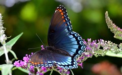 8667e2x  Red Spotted Purple butterfly on lavender blooms (jjjj56cp) Tags: redspottedpurple brushfooted brushfootedbutterfly mariposa schmetterling farfalle borboleta papillion inthewild summer butterflybush flowers blossoms blooms lavender purple pastel closeup macro details p900 jennypansing bokeh colorful vivid