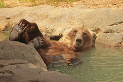 Just Chillin' @ Riverbanks Zoo (hennessy.barb) Tags: rivebankszoo columbiasc grizzly bathing grizzlybear mammal water