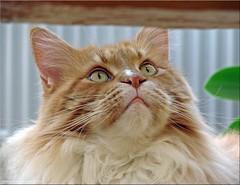 """""""Sie ist schon wieder weg! Ob sie wohl da oben ist?"""" - """"She has left again! Weather she is somewhere up there?"""" (Jorbasa) Tags: jorbasa hessen wetterau germany deutschand oscar tier animal katze cat tomcat pet"""