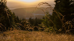 beauty of grass (YomDom) Tags: feldberg taunus hessen sunset grass view beauty nature warm yellow gelbes licht light