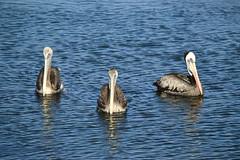 Three of a Kind - Coquimbo - Chile (Carlos Garca Soto) Tags: seabirds coquimbo bay chile