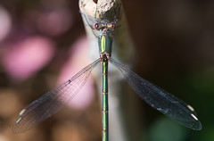 Waterjuffer (johan wieland) Tags: macro libelle waterjuffer