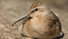 Curlew Sandpiper (Severnrover) Tags: curlew sandpiper wader shore shoreline coastal