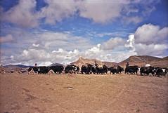 45-13 (LEROYannie27) Tags: troupeau yacks haut plateau tibtain