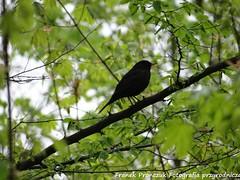 Kos (Turdus merula) / Blackbird (franekpee) Tags: kos blackbird turdusmerula birds ptaki