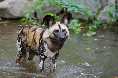 African wild dog (Mathias Appel) Tags: african wild dog hunting painted lycaon pictus afrikanischer wildhund animal animals tier tierpark zoo tiere portrait africa afrika canine hund ears ohren fell fur pelz pelzig snout schnauze autumn fall herbst leaves blätter raubtier predatur hunter jäger doge head dogs dof depth field depthoffield