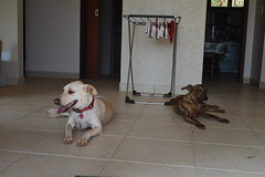 S o ouro riariari (callango) Tags: dog dogs trip summer girls pretty brubs hannah khalifa tulipa brazil doglovers animal