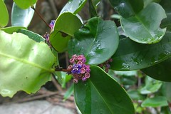 Memecylon Caeruleum (unconfirmed) (Dawn in Phuket, Thailand) Tags: flora plant asia thailand phuket flower