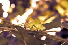 Sbio Gafanhoto (Lucian Crispim) Tags: animal inseto gafanhoto