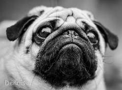 Mr Grumpy (linda.butty) Tags: pug pugs