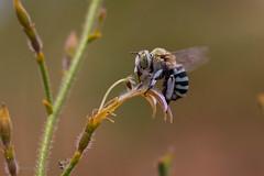 Amegilla (Notomegilla) chlorocyanea (Jbdorey) Tags: amegillanotomegillachlorocyanea ecology hymenoptera bee brisbane canon female httpwwwjamesdoreyphotographycomau insect jamesdoreyphotography jbdorey kangaroopaw photography science scientist zoology