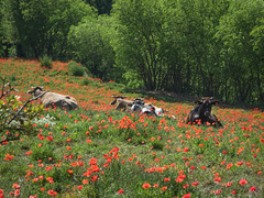 Vacas y amapolas (efe Marimon) Tags: canonpowershots120 felixmarimon catalunya lleida lanoguera vilanovademei montsec vacas amapolas