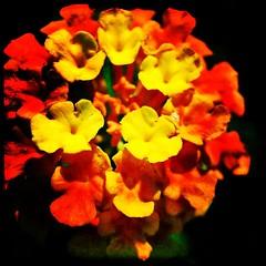 Glowing. #iPhone #iPhonemacro #macro #olloclip #olloclipmacro #flower #flowersofinstagram  #maryland #commute #sidewalk #roadside (Kindle Girl) Tags: instagramapp square squareformat iphoneography uploaded:by=instagram lofi olloclip macro iphone iphonemacro iphone365
