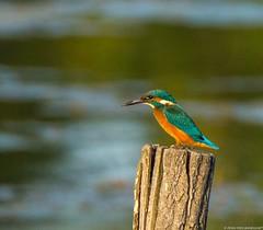 Alcedo atthis, kingfisher, Martin pescador, Martin pêcheur d'europe... (jymandu) Tags: oiseaux martin pêcheur deurope rivière eau étang lac alcedo atthis