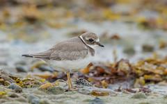 Common Ringed Plover (juvenile) (tickspics ) Tags: charadriushiaticula commonringedplover dorset ferrybridge plovers uk weymouth