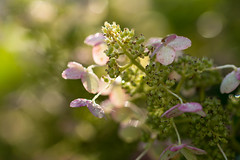 Just Breathe (Captured Heart) Tags: flowers hydrangea morning morninglight morningdew
