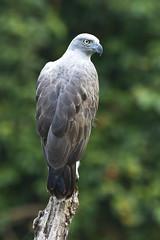 Lesser Fish-Eagle (christopheradler) Tags: malaysia lesser icthyophaga humilis fisheagle lesserfisheagle icthyophagahumilis ichthyophagahumilis