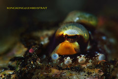 Beautiful Eyes (kayak_no1) Tags: nikon d800e nauticamhousing 105mmvr diopter ysd1 subsee10 underwater underwaterphotography macro supermacro diving scubadiving uw lembehstrait indonesia octopus eyes