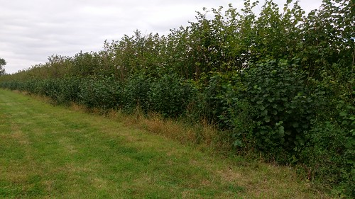 Hazel coppice at Wakelyns Agroforestry, UK